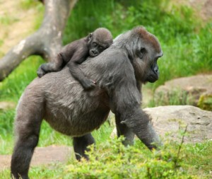 Baby and gorilla