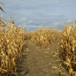 Paths through corn